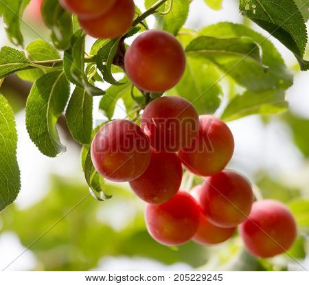 plums on the tree in nature . In a park in the nature
