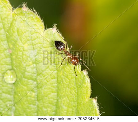 ant on green leaf. close-up . In a park in the nature