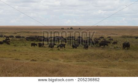 A large herd of cape buffalo grazing in the endless Serengeti grassland