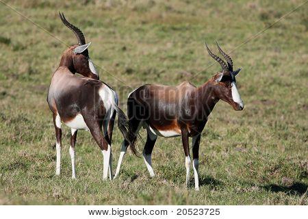 Bontebok Or Blesbok Antelope