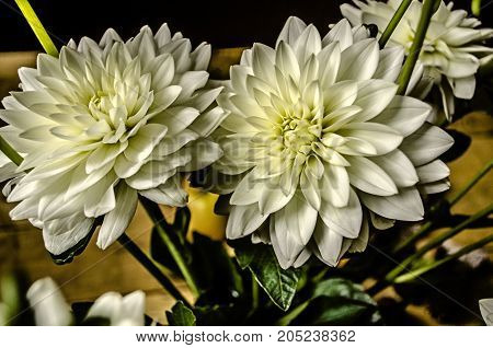 More head of white dahlia flowers in a bouquet on the table