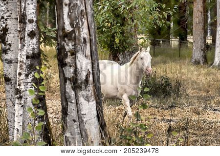 A beautiful white horse coming out from behind birch trees in Idaho.
