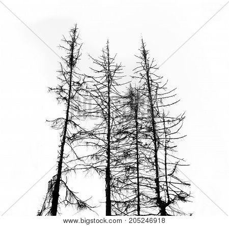 silhouette of dry dead fir trees on white background