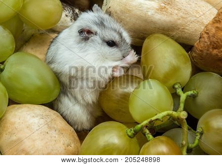 gray hamster in grapes and mushrooms, close-up