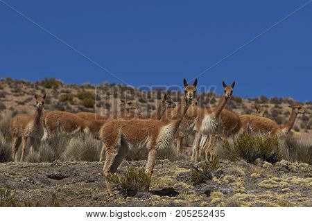 Group of vicuna (Vicugna vicugna) on the altiplano in Lauca National Park, northern Chile.