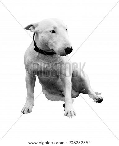 Beautiful bull-terrier isolated on a white background