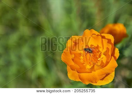 Orange Trollius with small insect in the middle - Blooming globeflower in Siberian forest