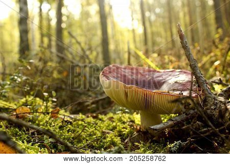 large edible mushroom with red hat is growing in the autumn forest