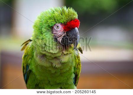 Closeup of a beautiful green military macaw