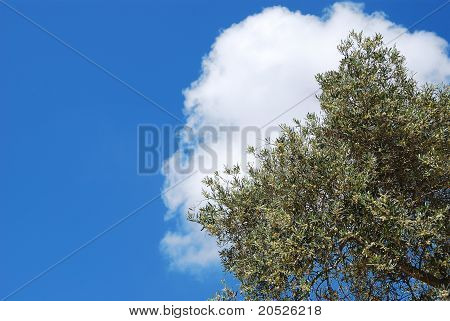 Olive Tree Over Blue Sky And White Cloud