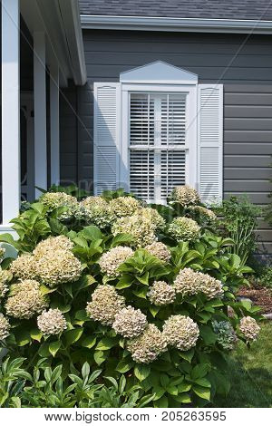 Hydrangea Plant With Window