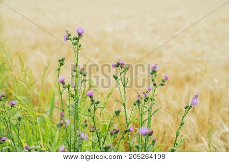 Thistles growing in meadows along with cereal, rural summer landscapes