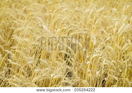 Ripe cereal ears close-up on hot summer afternoon background of yellow field. For backdrop use