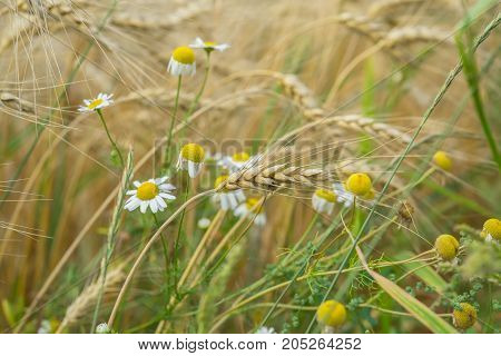 Wheat field and Pleasantly weeds, wild Matricaria in a field on a farm a sunny summer day with cereal ears, Rural background poster