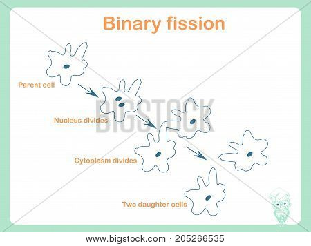 Scheme of Binary fission for school education stock vector illustration