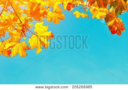 Autumn background with maple autumn leaves and sunny blue sky.