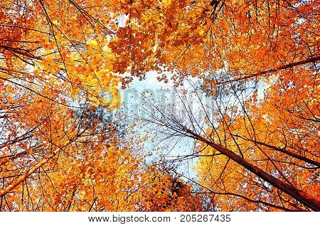 Fall yellowed tops of forest fall trees with golden fall leaves extending to the blue cloudy sky. Fall background with orange fall trees in the fall forest. Golden fall trees