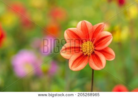 Amazing beautiful bokeh background with bright red or pink or coral dahlia flowers. A colorful floral nature greeting or invitation card with a copy space for text. Garden