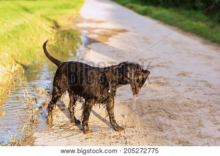 Schnauzer Dog Comes Wet Out Of A Puddle
