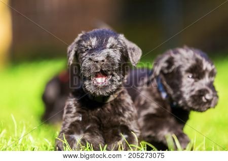 Schnauzer Puppy Sits On The Meadow And Yawns