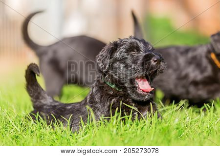 Schnauzer Puppy Lies On The Meadow And Yawns