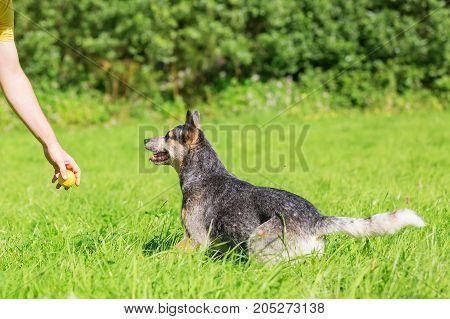 Man Plays With An Australian Cattledog