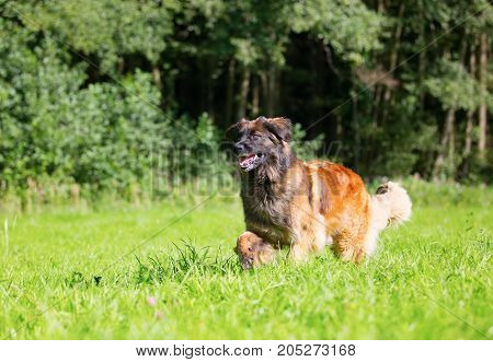 Leonberger Runs Over The Meadow