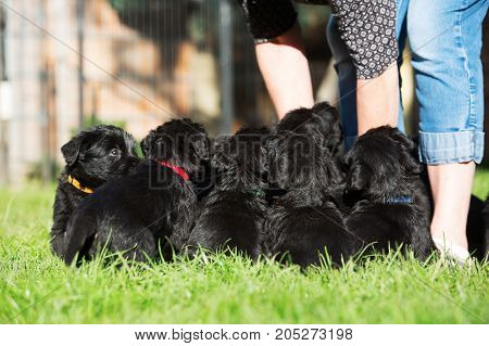 Person With A Schnauzer Puppy Litter