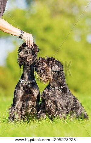 Woman Gives Her Schnauzer Dogs A Treat