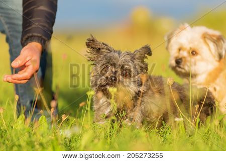 Man Plays With Two Havanese Hybrid Dogs