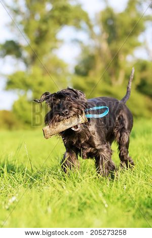 Schnauzer Dog Runs With A Treat Bag Outdoors