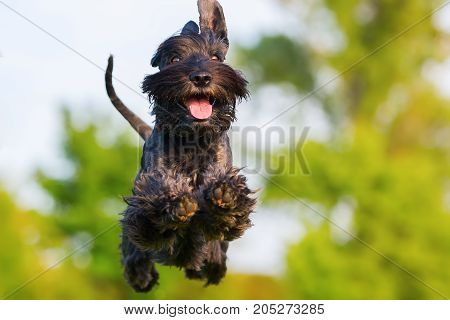 Picture Of A Jumping Schnauzer