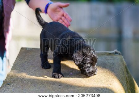 Cute Schnauzer Puppy On An Agility Device
