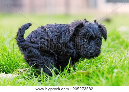 Schnauzer Puppy Defecates In The Grass