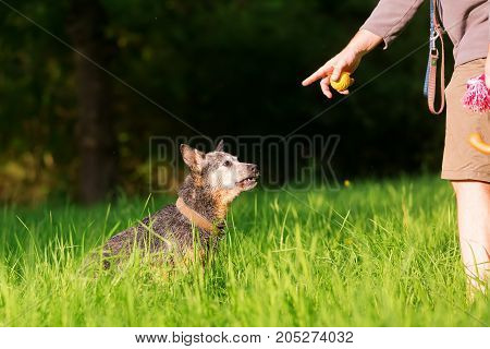 Man With An Australian Cattledog Outdoor