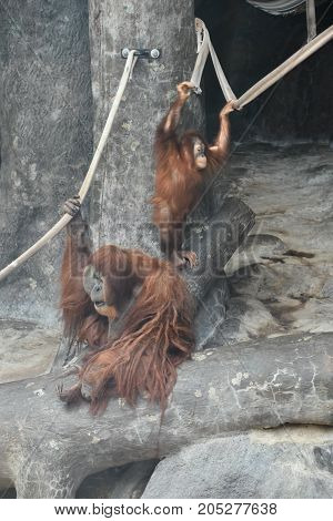 An Active Brown Orangutan in a Zoo