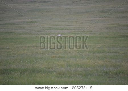 a pronghorn (north American antelope) at dusk