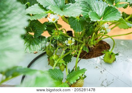 Strawberries Growing In Lines In Greenhouse Farm