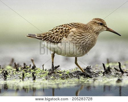 large wader with long orange beak and black and white contrasting plumage. The most common kind of small family Haematopodidae, which includes birds that live mainly on the sea coasts. Widespread in Western Europe, Central regions of Eurasia, Kamchatka, C