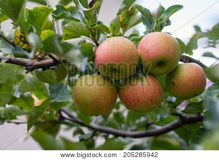 Apple tree. 5 apple on branch .