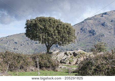 Holm Oak, Quercus ilex, growing next to a stone wall. In the background the Cerro de San Pedro (San Pedro Peak). Photo taken in Colmenar Viejo Madrid Spain
