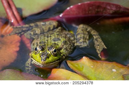 a large image of a frog lying in water in the middle of the slime and Lily pads