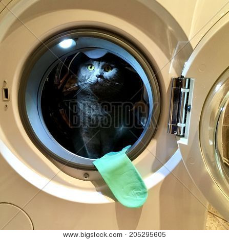 Gray Scottish fold cat sitting in the washing machine while the door is open, the green sock hanging out of the washing machine