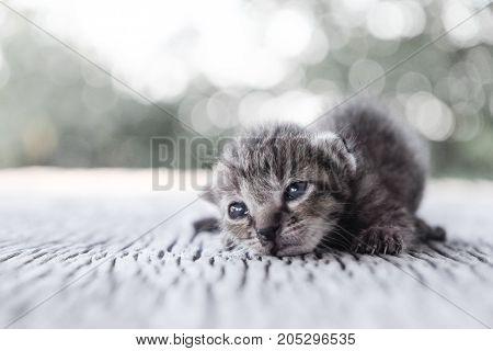 Small Kitten tiger pattern lying on a wooden floor.