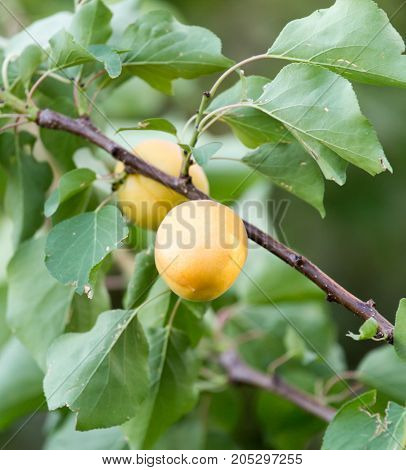 ripe apricots on a tree branch . In a park in the nature