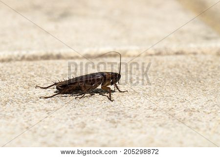 American cockroach sitting on a stone surface (Periplaneta americana) - Right view