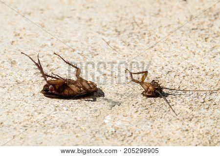 American cockroach threw the body and split in two (Periplaneta americana)