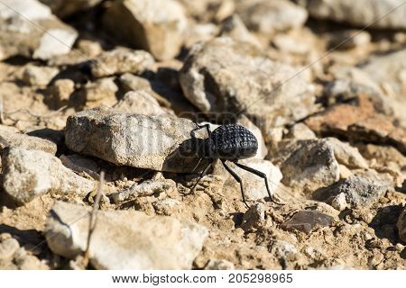 Beetle from the family of darkling beetles crawls on stones (Pimelia bipunctata) / Front view