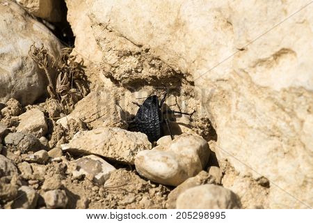 Beetle from the family of darkling beetles sits between stones (Pimelia bipunctata)