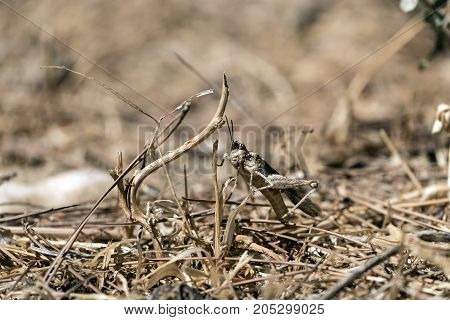 Desert locust hid in the dry grass (Sphingonotus octofasciatus)